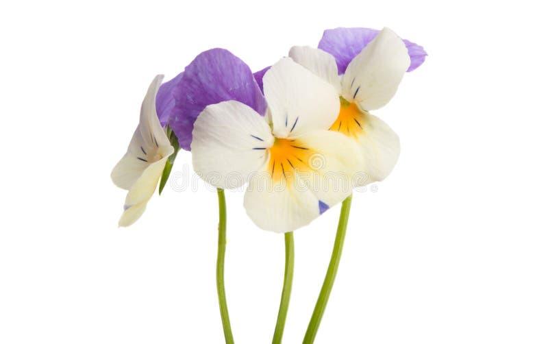 Isolerad pens?blomma arkivbild