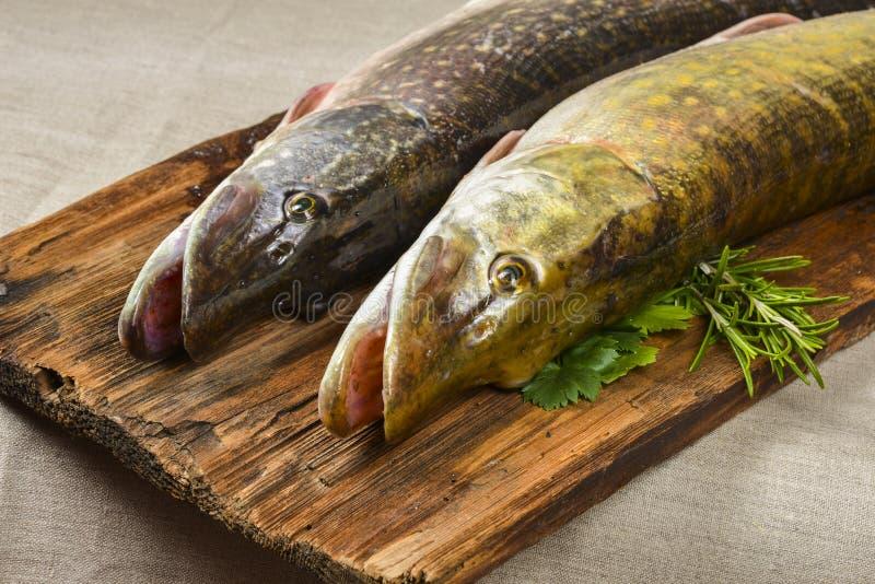 isolerad pikewhite för bakgrund fisk arkivbild