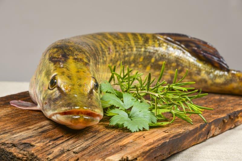 isolerad pikewhite för bakgrund fisk arkivfoto