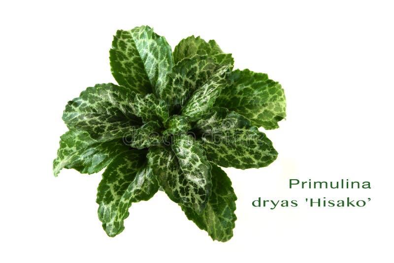 Isolerad Primulina dryasHisako växt royaltyfri fotografi