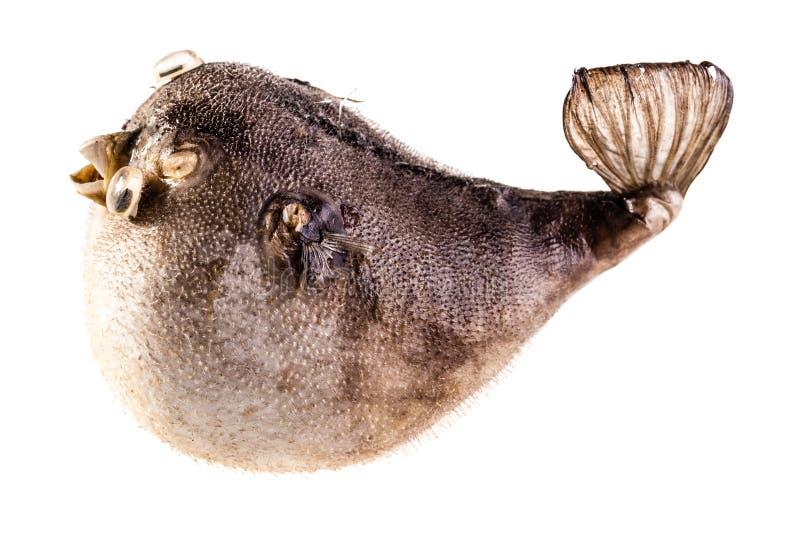 Isolerad Pufferfisk arkivfoton