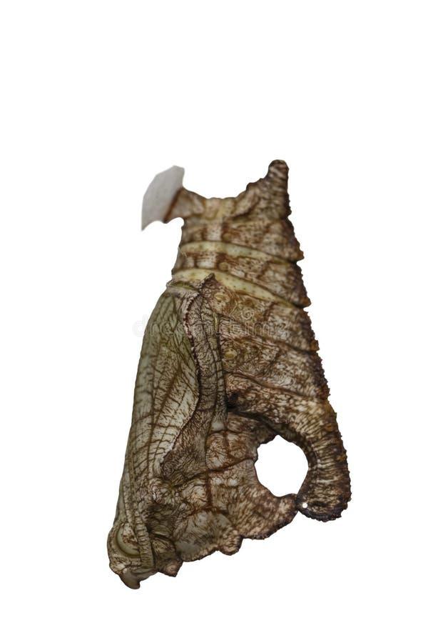Isolerad puppa av strimmig kattfjärilsPseudergolis wedah på w royaltyfri foto
