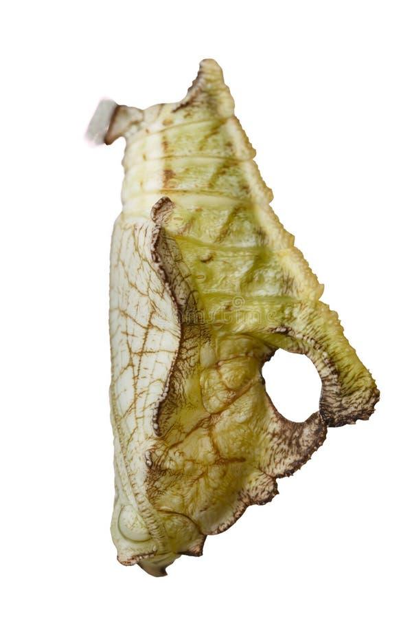 Isolerad puppa av strimmig kattfjärilsPseudergolis wedah på w royaltyfri bild