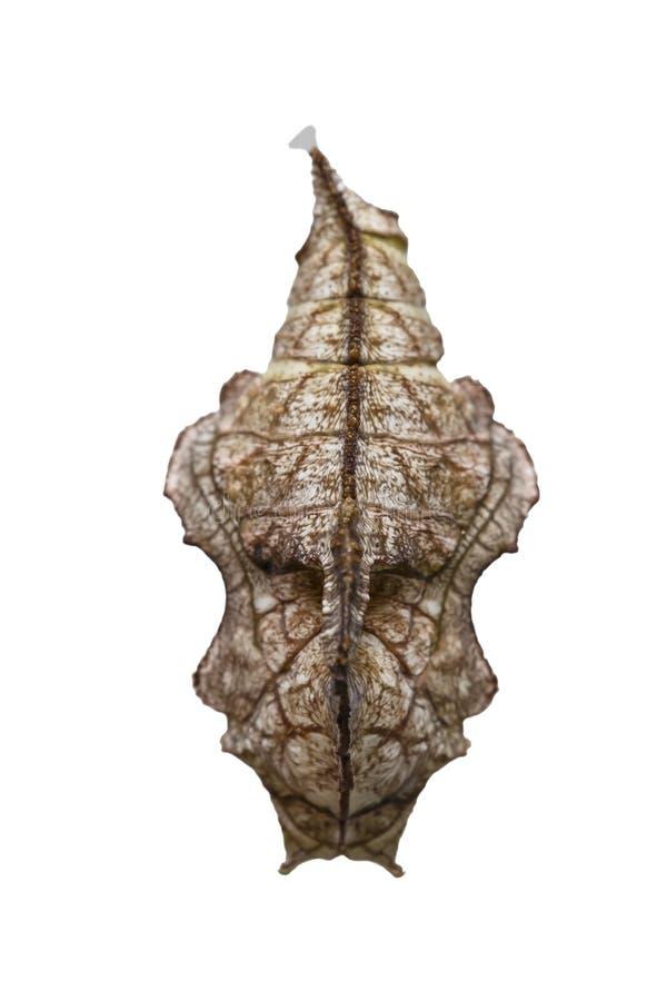 Isolerad puppa av strimmig kattfjärilsPseudergolis wedah på w royaltyfria bilder