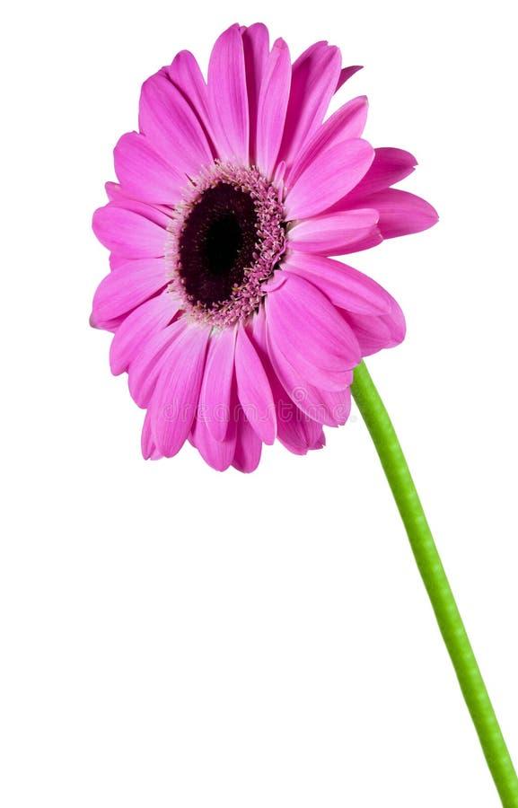 Isolerad röd blomma för Gerbera royaltyfri bild