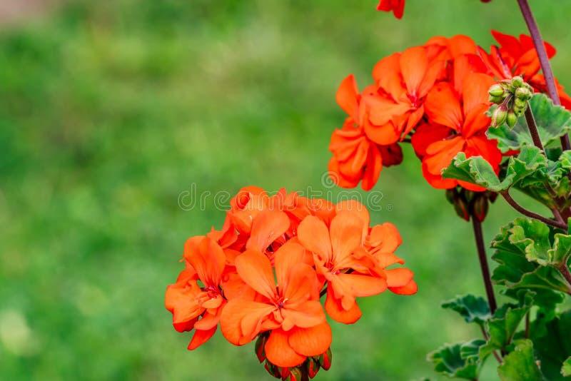 Isolerad röd blomma i trädgård med suddig bakgrund och fritt utrymme för text - Sunny Autumn Day royaltyfria bilder