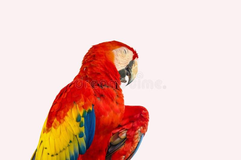 Isolerad röd och blå ara arkivfoton