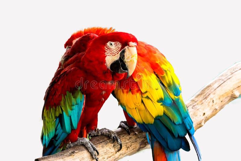 Isolerad röd och blå ara royaltyfri foto
