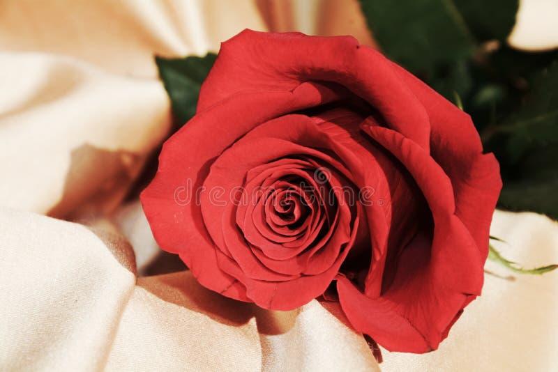 Isolerad röd ros på guld- bakgrund, tappningtoner, slut upp royaltyfri fotografi