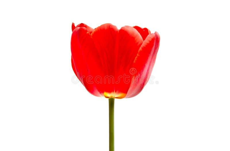 isolerad röd tulpan royaltyfria foton