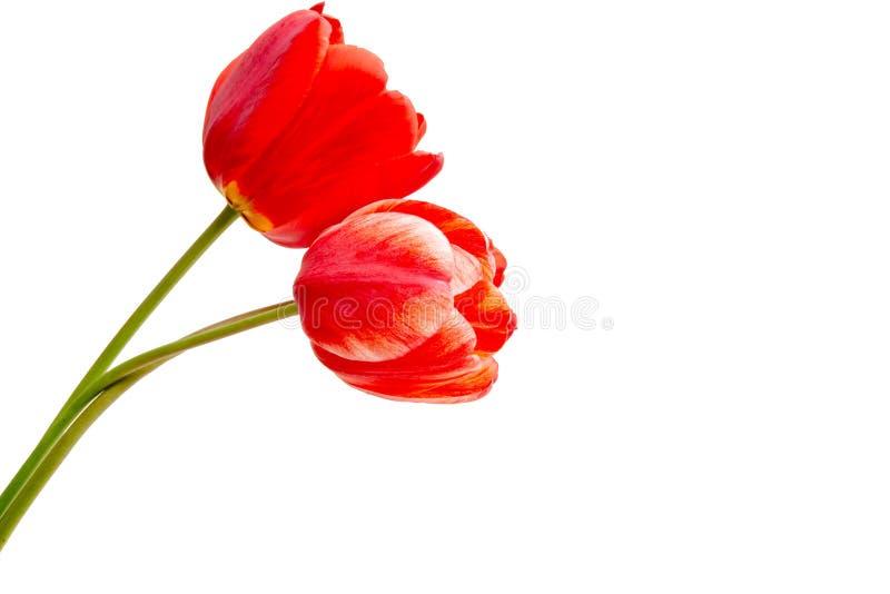 isolerad röd tulpan royaltyfria bilder