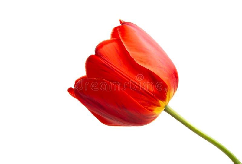 isolerad röd tulpan royaltyfri bild