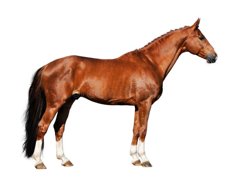 Isolerad Röd White För Bakgrund Häst Fotografering för Bildbyråer
