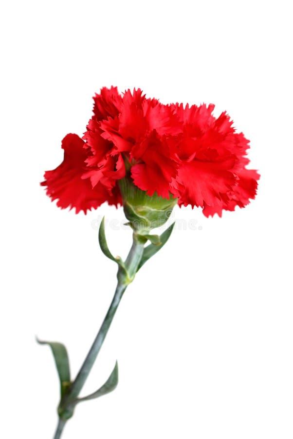 isolerad röd white för nejlika blomma arkivfoto