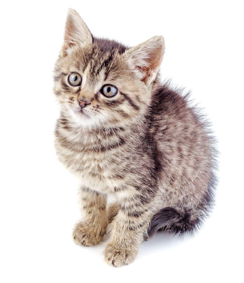 Isolerad randig grå kattunge royaltyfria bilder