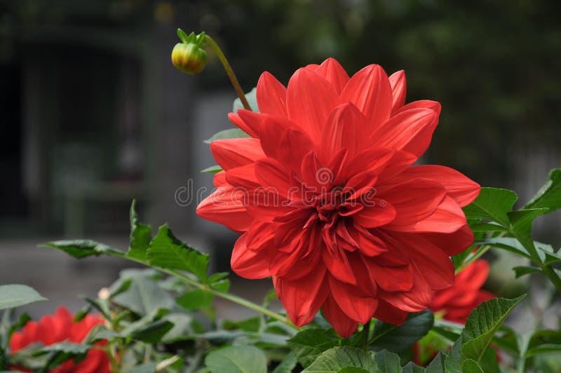 isolerad red för dahlia blomma royaltyfri fotografi