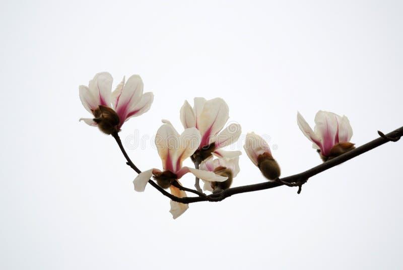 Isolerad rosa magnoliablomma royaltyfria foton