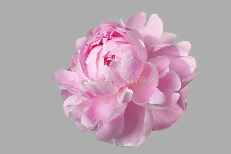 Isolerad rosa pion arkivfoto