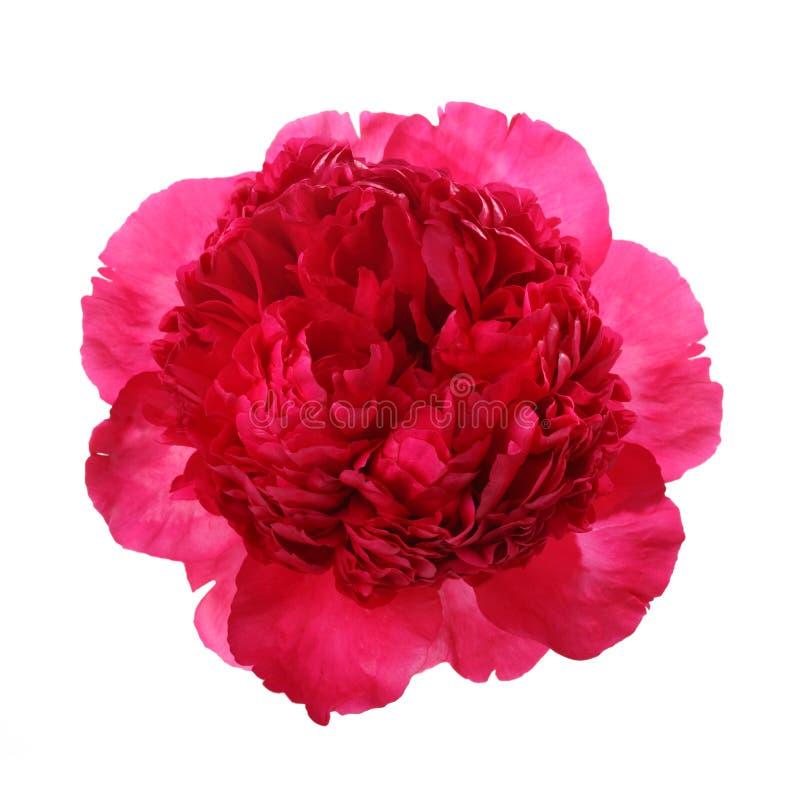 Isolerad rosa pion royaltyfri foto