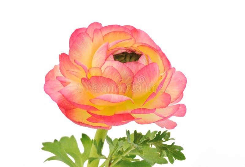 isolerad rosa ranunculuswhite royaltyfri fotografi