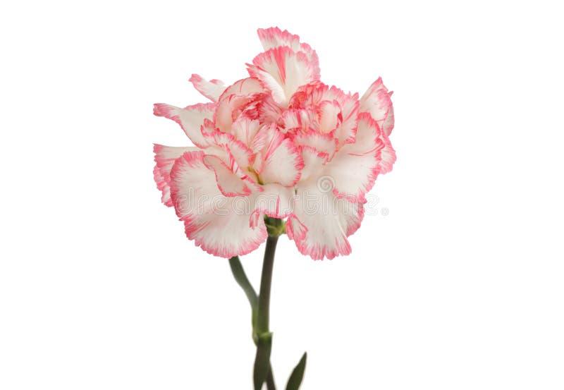 isolerad rosa white f?r nejlika blomma arkivfoton