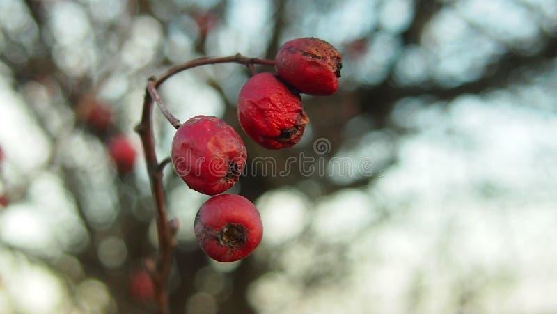 isolerad rose vektorwhite för höft illustration royaltyfria bilder