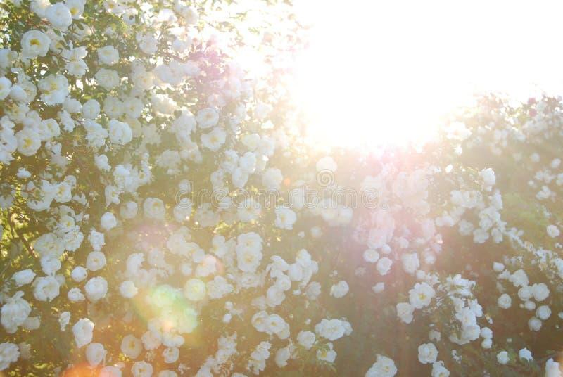isolerad rose vektorwhite för höft illustration royaltyfri foto