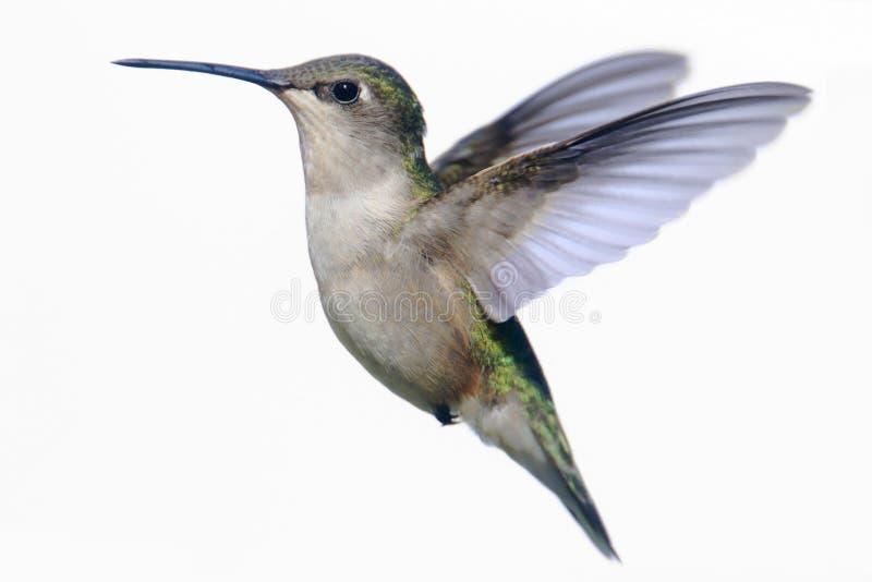 Isolerad Rubin-throated kolibri på vit fotografering för bildbyråer