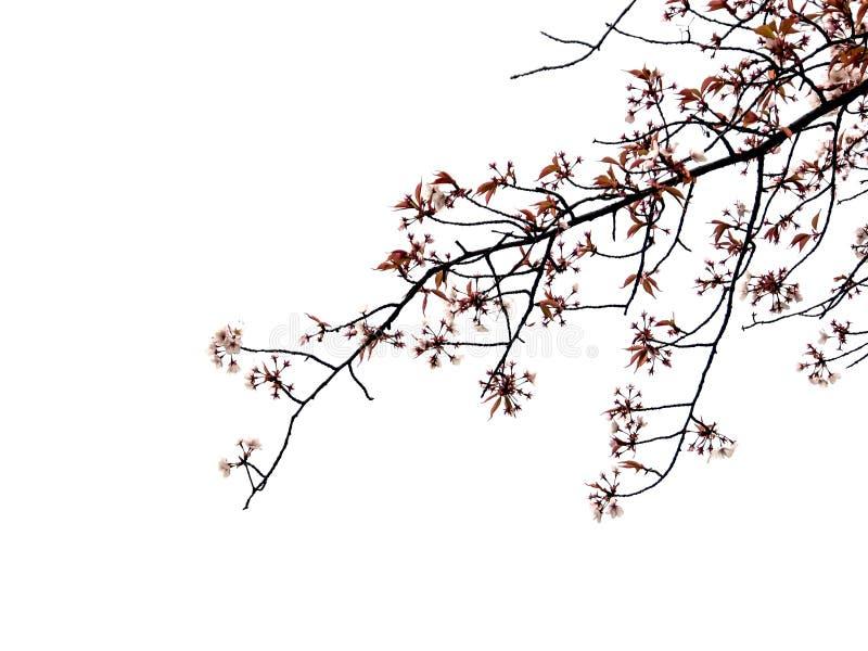 Isolerad Sakura filial royaltyfri bild