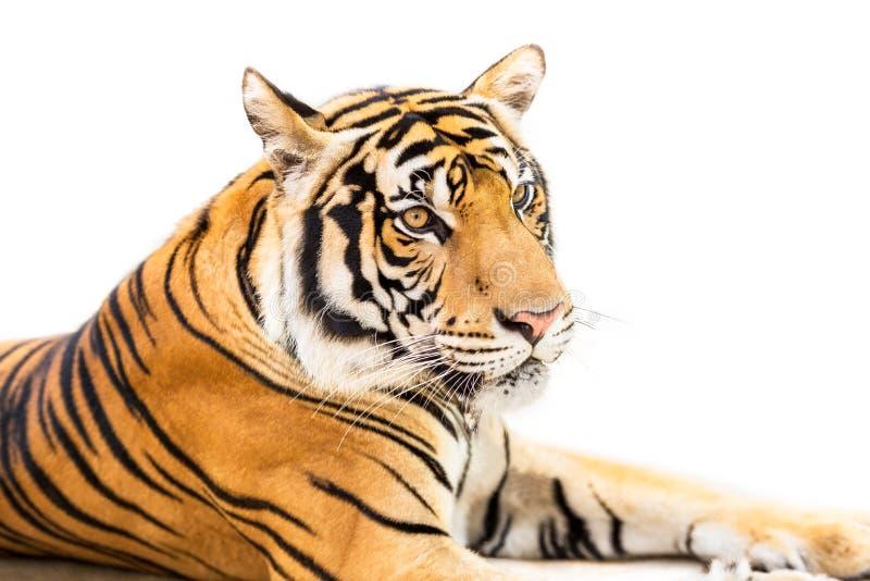 Isolerad Siberian tiger fotografering för bildbyråer