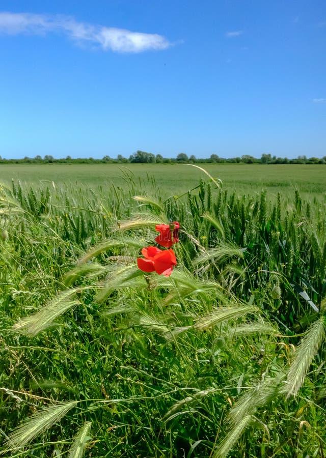 Isolerad sikt av sett växa för vallmo blomma i ett stort fält av tidigt skördvete royaltyfri fotografi