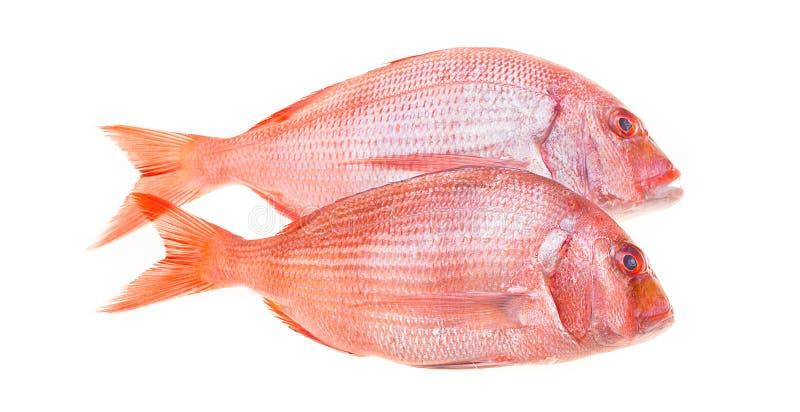 Isolerad Snapperfisk arkivbild
