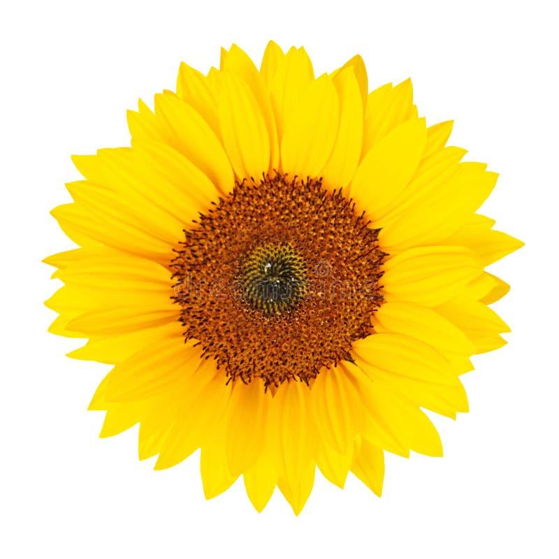 Isolerad solros (helianthus annuus) fotografering för bildbyråer