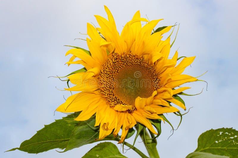 Isolerad solros mot blå himmel royaltyfria foton