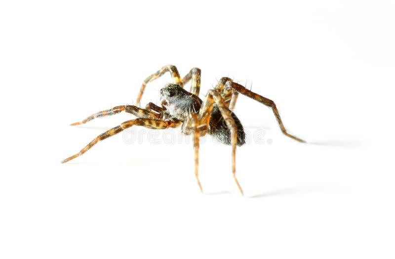 isolerad spindel arkivbild