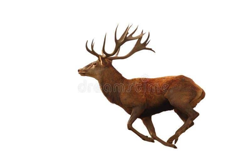 Isolerad spring för röda hjortar arkivbild