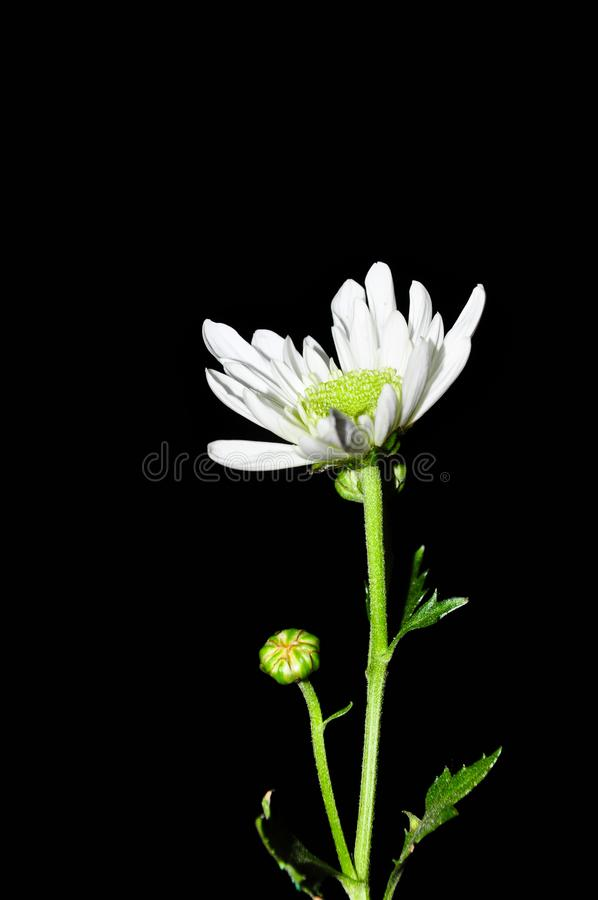 Isolerad svart bakgrund för vit blomma royaltyfri bild