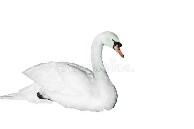 isolerad swanwhite royaltyfria bilder