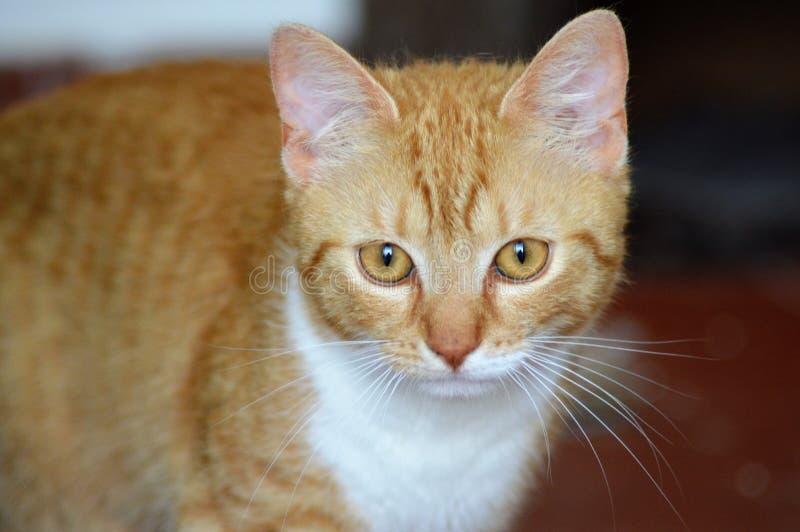 isolerad tabby för katt ljust rödbrun illustration arkivbilder
