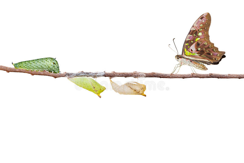 Isolerad tailed nötskrikafjäril med puppan och larven på arkivbilder