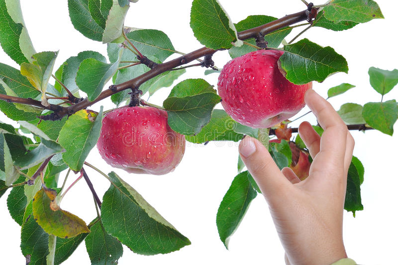 isolerad tid för äpple skörd arkivbild