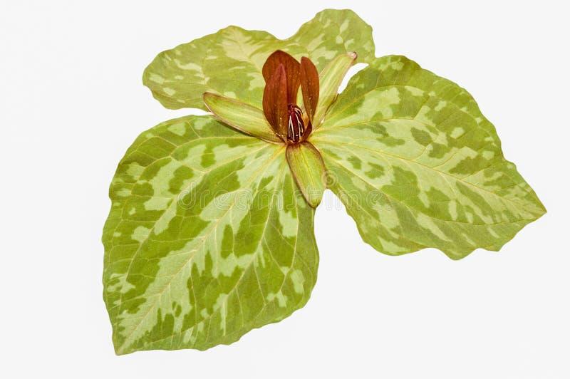 Isolerad trillium, gröna sidor, på vit arkivbild