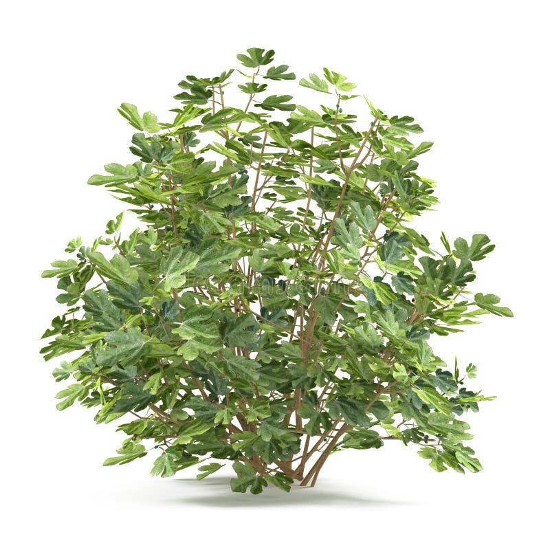 Isolerad växtbuske. Ficus Carica royaltyfri illustrationer