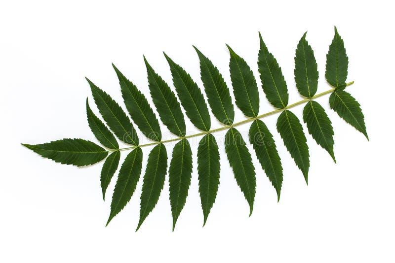 Isolerad växtfilial med många sidor arkivbild