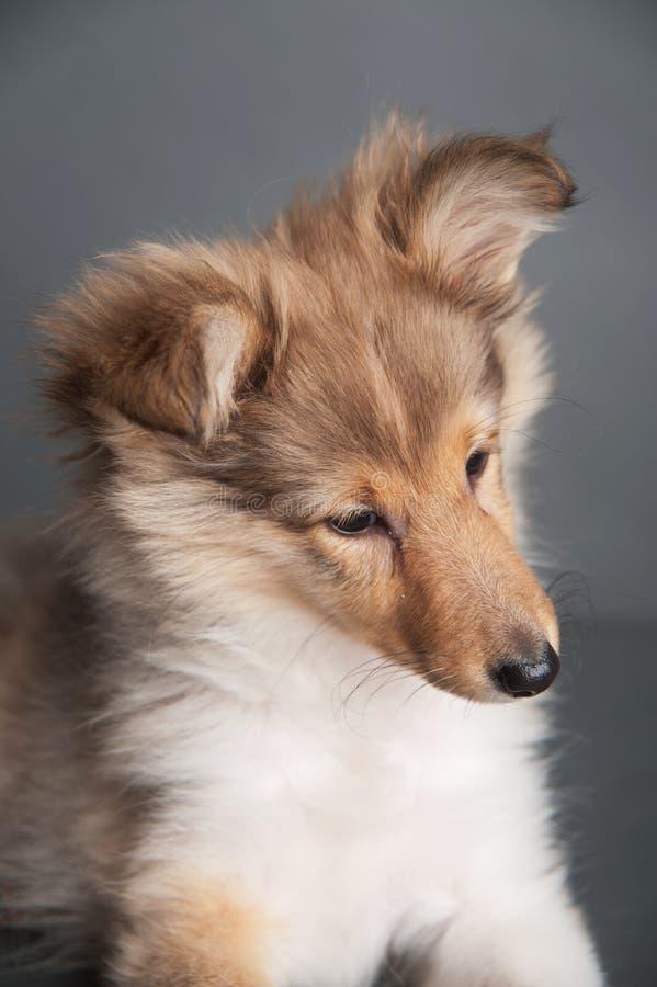Isolerad valp för shetland fårhund i studion, gullig stående av en sheltievalp royaltyfri fotografi