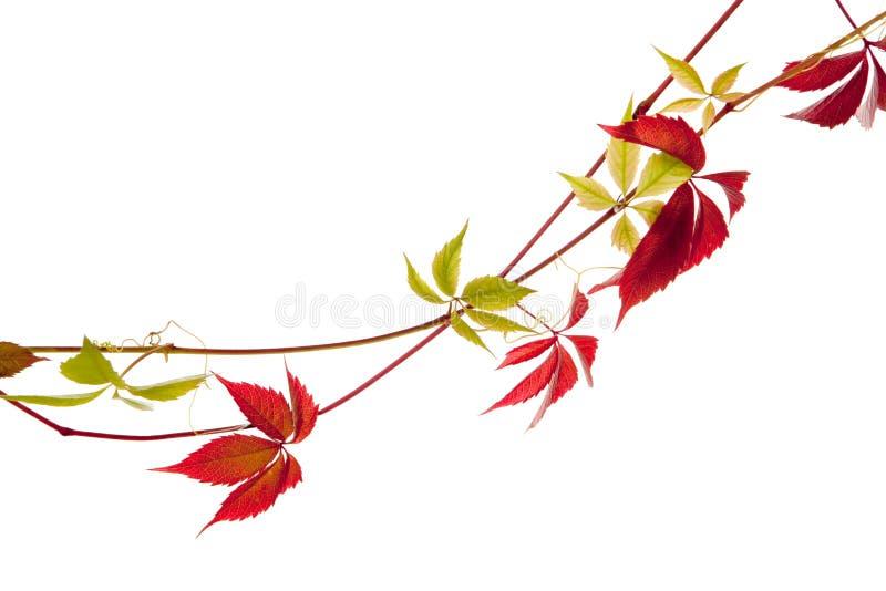 Isolerad vindaväxt arkivfoto