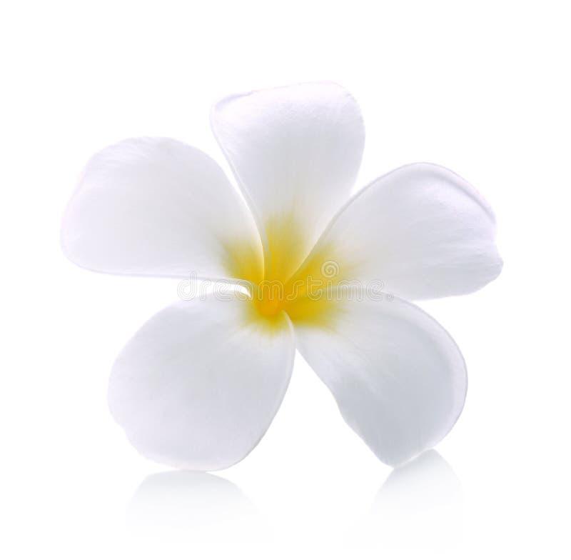 Isolerad vit bakgrund för Frangipani blomma royaltyfria foton