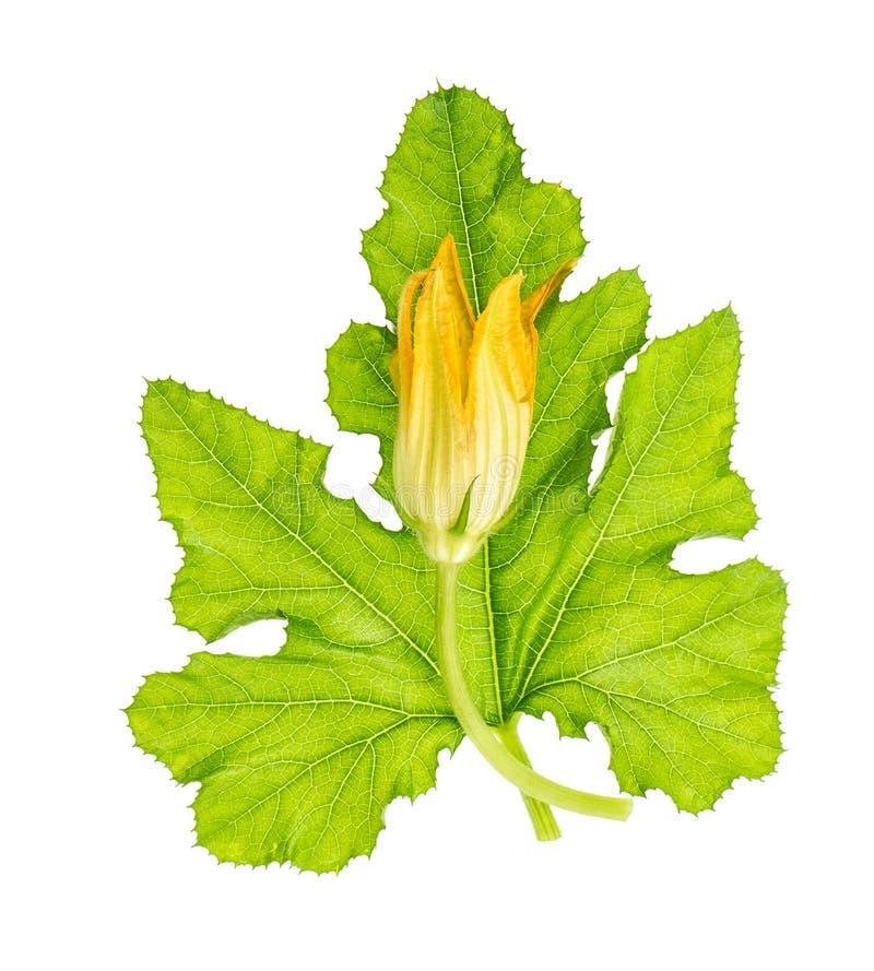 Isolerad vit bakgrund för zucchiniblad blomma royaltyfri foto