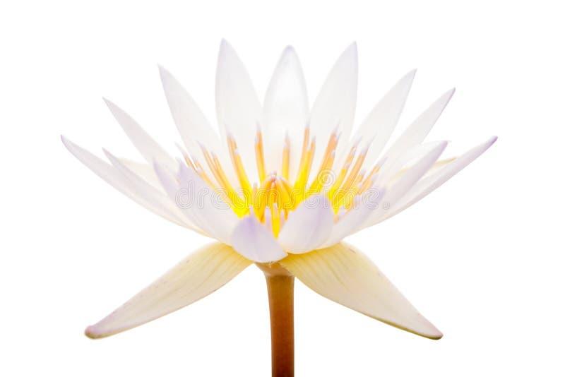 Isolerad vit lotusblomma arkivfoton