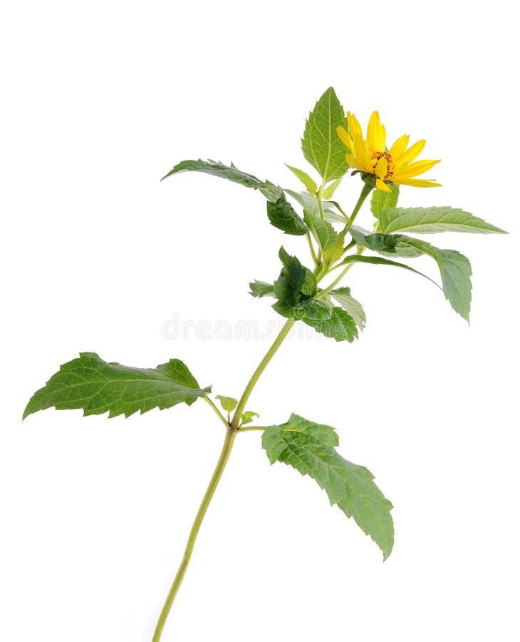 isolerad vit yellow för bakgrund blomma royaltyfria bilder